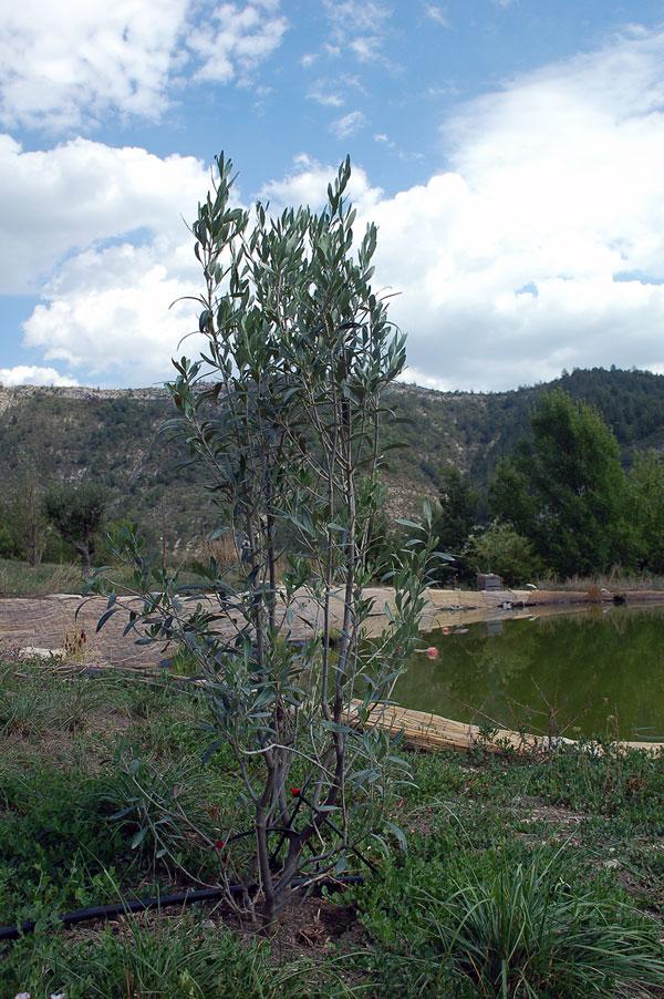 jeune-olivier